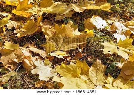 A few large maple leaves lie on the ground. Autumn falling leaves
