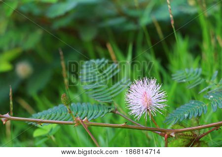mimosa pudica or sensitive plant flower pink beautiful in nature