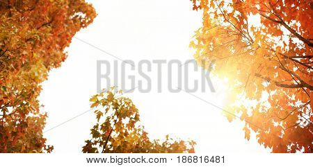 Glowing background against low angle view of maple trees