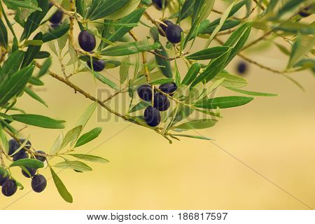 Branch of olive tree with fruits and leaves, natural agricultural food background