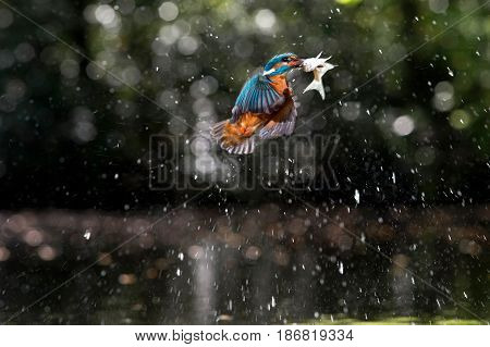 Kingfisher Flying Out Of Water With Fish In Beak.