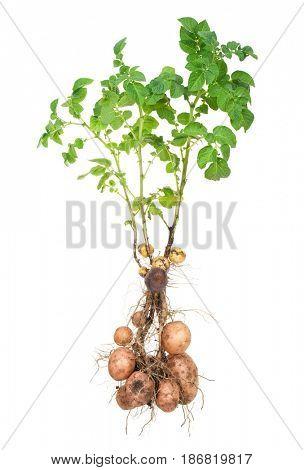 Potato bush