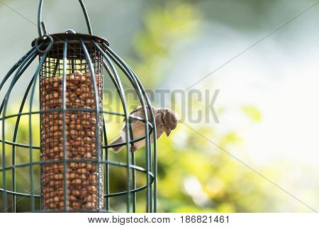 Female House Sparrow Perched On Hanging Feeder Filled With Peanuts.