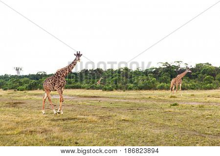 animal, nature and wildlife concept - group of giraffes walking along maasai mara national reserve savannah at africa