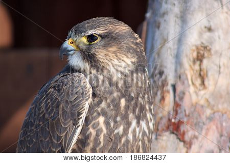 Eurasian falcon looks out for its prey. Closeup.