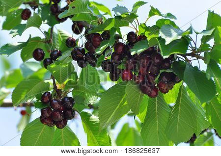 Ripe cherries on a branch. Sweet cherry on tree