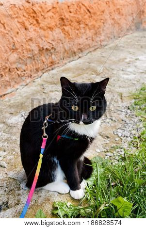 Black And White Pet Cat On Harness Is Walking In City In Summer.
