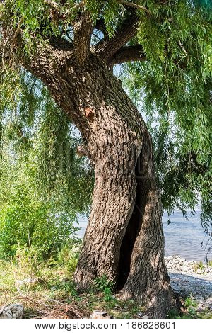 Close-up trunk of majestic green poplar with hollow on river shore.