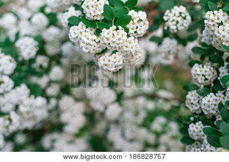 Background Of White Small Flowers, Flowering Bush, Frame Of Flowers. Horizontal Frame