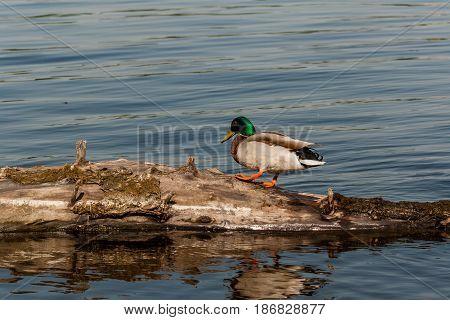Drake Sit On A Log