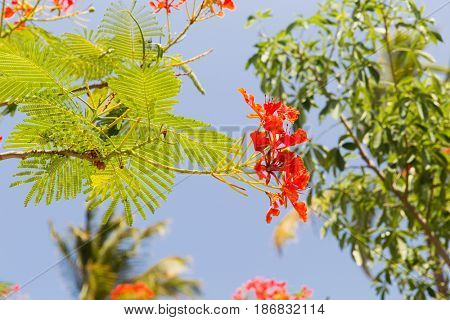 gardening, nature, botany and flora concept - beautiful exotic red flowers of delonix regia or flame tree outdoors poster