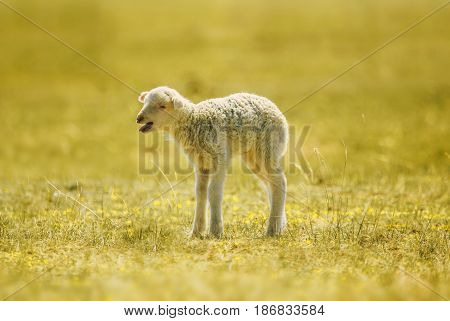 a white suffolk lamb a few days old standing on the grass bleating