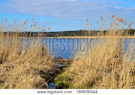 Dry reeds in spring near river with blue sky.