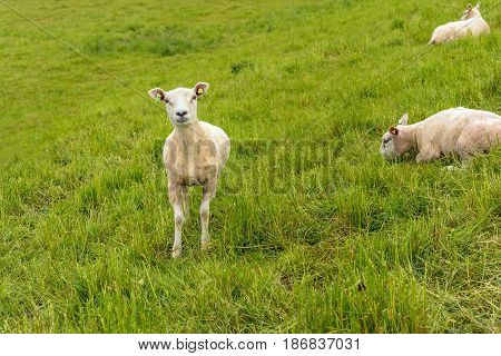 Recent shaved sheep proudly looks at the photographer while the other two sheep on the of an embankment remain calm.