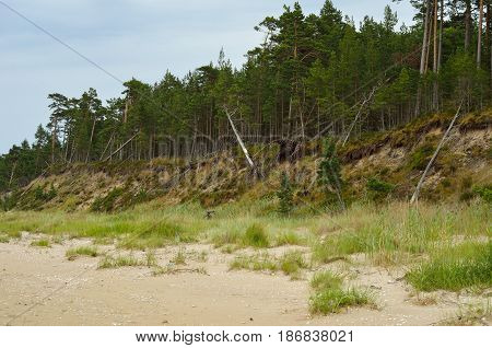 Steep bank and pine forest on the beach of the Baltic Sea coastline Latvia.