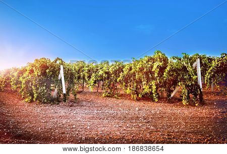 Vineyard at summer, autumn sunset. Blue sky. Beautiful rows of grapes in the vineyard after the harvest time.