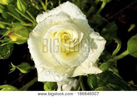 white rose on a rosebush