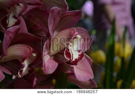 Very pretty dark pink orchids in full bloom.