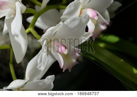 Garden with blooming white orchidaceae flower blossoms.