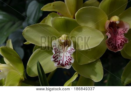 Blossoming green orchid with marroon in it's center.