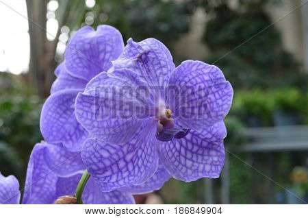 Rare blooming light purple orchid flower blossom in a garden.