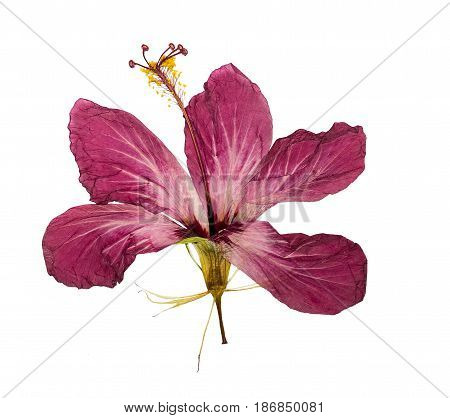 Pressed and dried flower hibiscus isolated on white background. For use in scrapbooking floristry (oshibana) or herbarium.