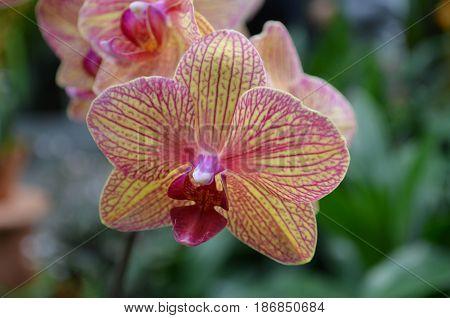 Pretty blooming orchidaceae flowering in a garden.