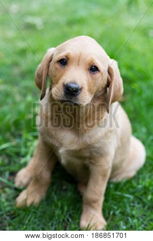 A young yellow Labrador a Retriever puppy sitting outdoors on grass and looking straight at the camera in a dog portrait.