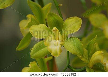 Pretty flowering yellow and green orchids in a garden.