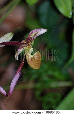 Blooming rare orchid flower blossom in a garden.