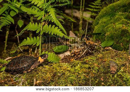 A young Bog Turtle walking over a bed of moss in the wild.