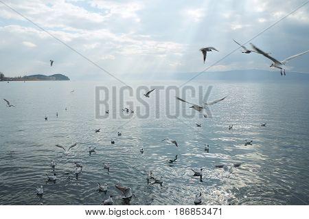 Gulls on the Ohrid lake, Macedonian republic