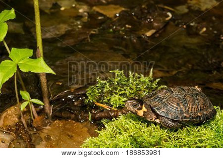 A close up of a Bog Turtle
