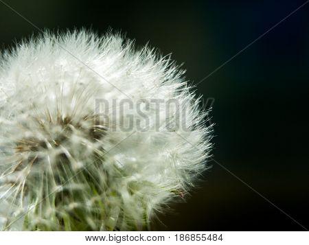 Dandelion blowball against a dark background, the concept of spring flowering lightness and brittleness
