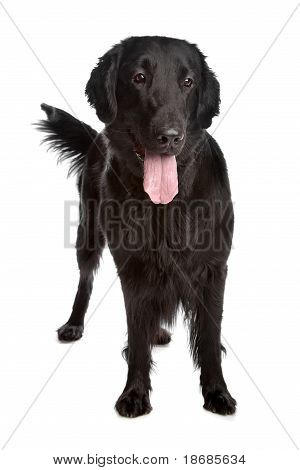 Flat-Coated Retriever in front of a white background poster
