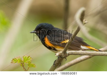 An American Redstart perched on a branch during spring migration.