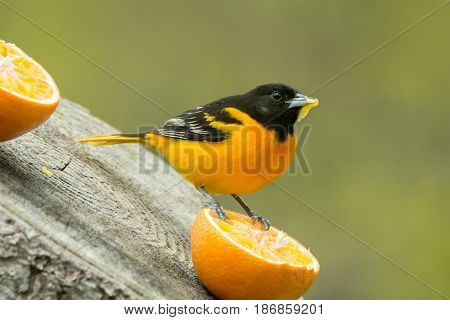 A Baltimore Oriole eating from an orange in the spring in Wisconsin.