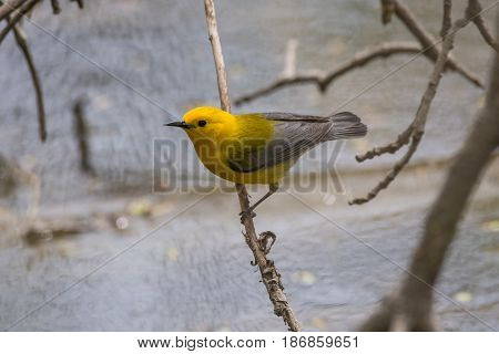 A Prothonotary Warbler perched on a branch over the Milwaukee River.