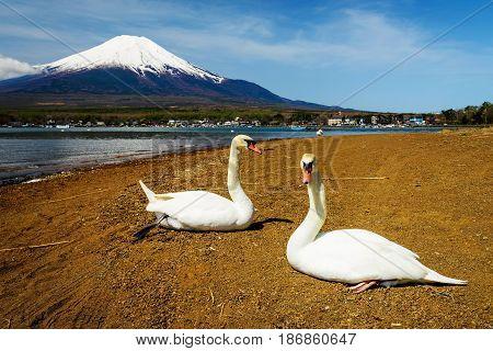 Swans Near Lake Yamanaka With Mt. Fuji