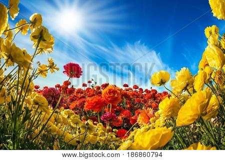 Concept of rural tourism. The southern warm sun illuminates the flower fields of red and yellow garden buttercups- ranunculus. Collage