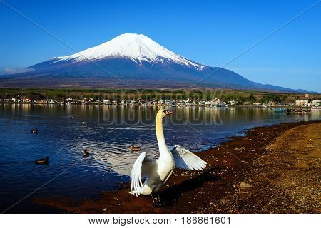 Swan Flap Wings In Yamanaka Lake
