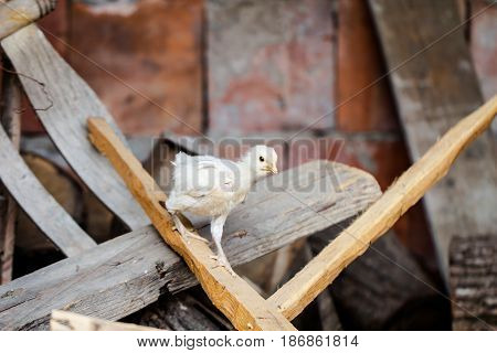 Little baby chicken climbing on a wooden board on a country farm as ecology agriculture concept background