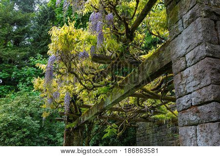 Wisteria flowers blooming on Trellis with Stone Columns in Renaissance garden patio