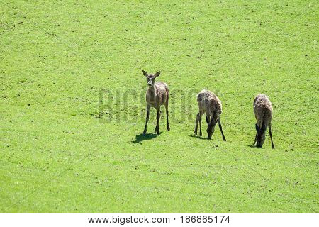 three roe deer grazing on the green field