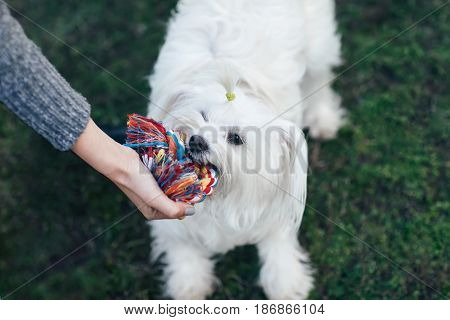 Beautiful white fluffy dog playing with knot rope toy on grass