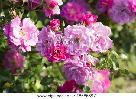 Rose flowers in the ornamental garden of Cervantes Park or Parque de Cervantes in Barcelona, Spain.