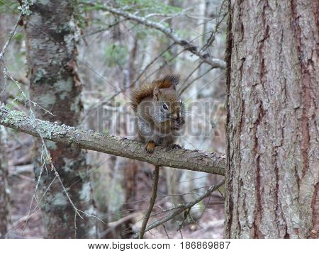 Close-up view of a red squirrel sitting on a tree branch near the Yakutania Point at Skagway, Alaska