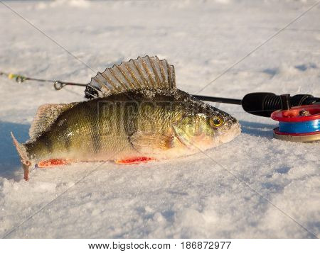 Perch on ice caught in the winter on a fishing tackle on the top Volga in Russia
