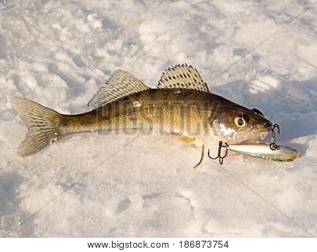 Pike perch on ice caught in the winter on a fishing tackle on the top Volga in Russia