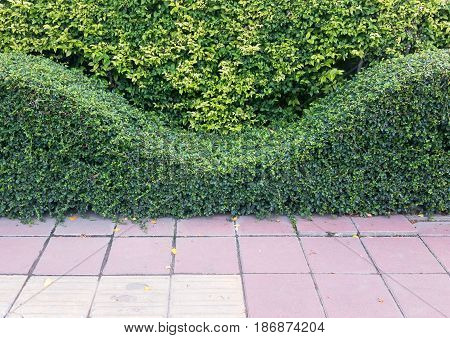 Wave shaped shrub near the tiles floor of the footpath way in the urban area.